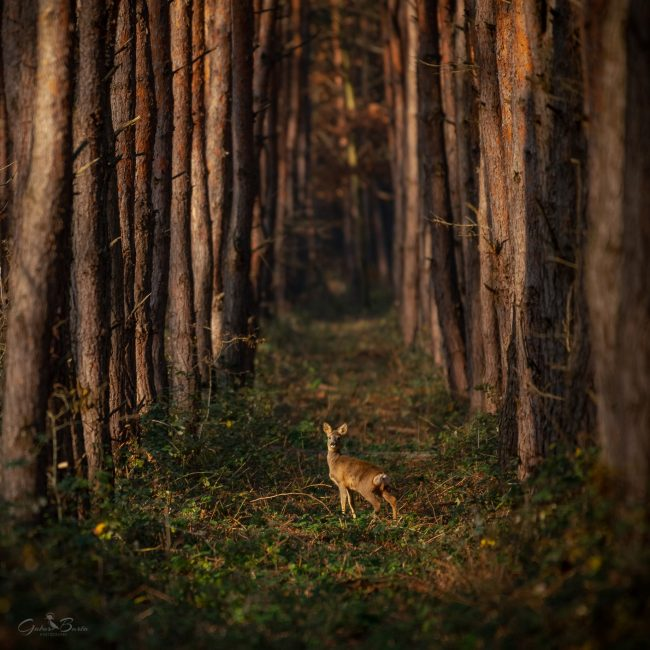 Barta Gábor: Bambi a rengetegben