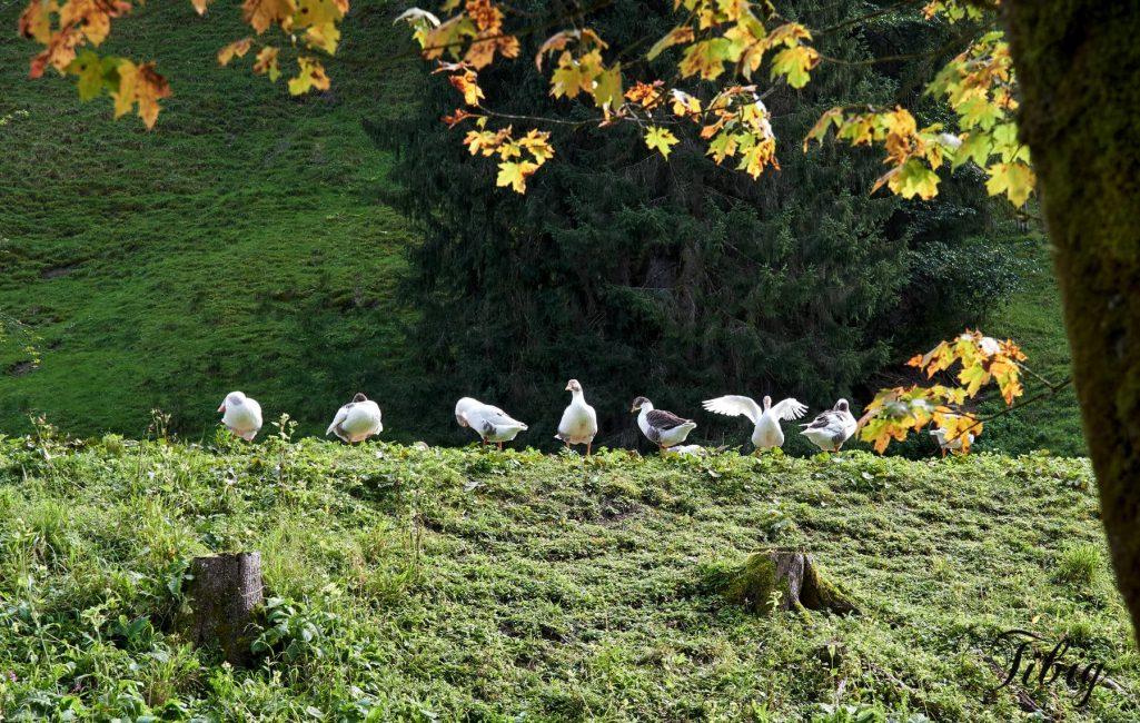 Galambos Tibi: Az összes libám